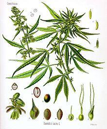 220px-Cannabis_sativa_Koehler_drawing.jpg