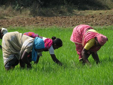 800px-India_-_Sights_&_Culture_-_Planting_Rice_Paddy_1_(5208293805).jpg