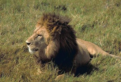 800px-Male_lion_African_lion.jpg