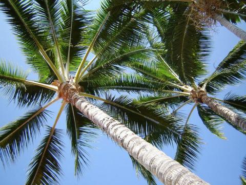 Hawaii_Palms.jpg