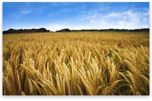WheatField.jpg